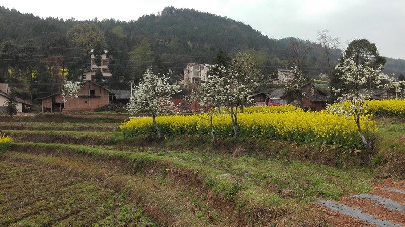 达州附近又添春季赏花的地方 平昌青凤镇三千亩大型芍药园