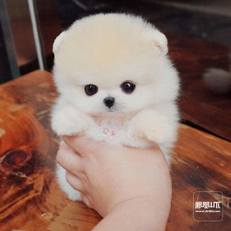 博美茶杯袖珍犬