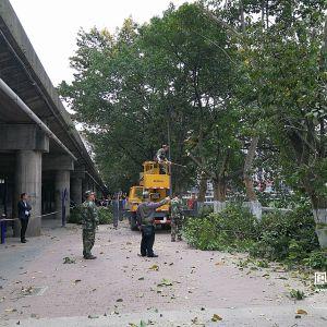 给快速路让道 黄泥碥40多棵黄葛树将搬新家