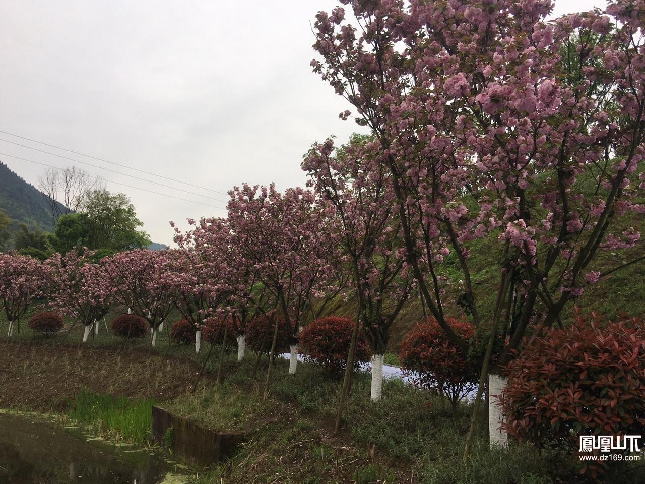 到莲花湖赏樱花观美景