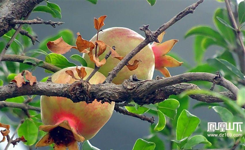 海棠花与果实