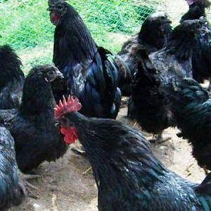 万源市农业局旧院黑鸡扶贫开发项目在长坪村实施