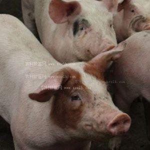 万源市农业局深入开展禁止泔水饲喂生猪专项检查
