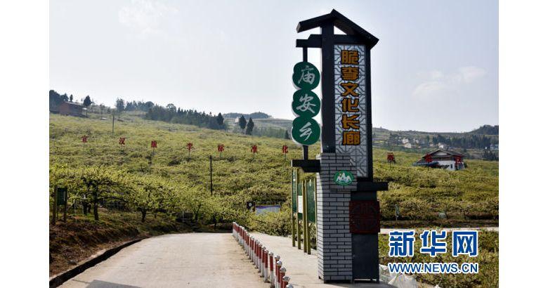 红色老区四川省宣汉县庙安乡 雪白的李花纷纷飞舞